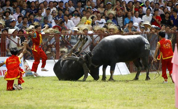 Chọi trâu – lễ hội nổi tiếng tại Đồ Sơn Hải Phòng.